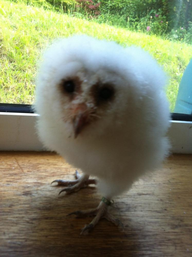 Whisper, my beautiful Barn Owl (2/6)
