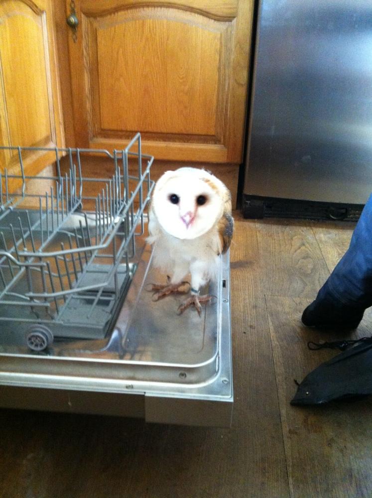 Whisper, my beautiful Barn Owl (5/6)