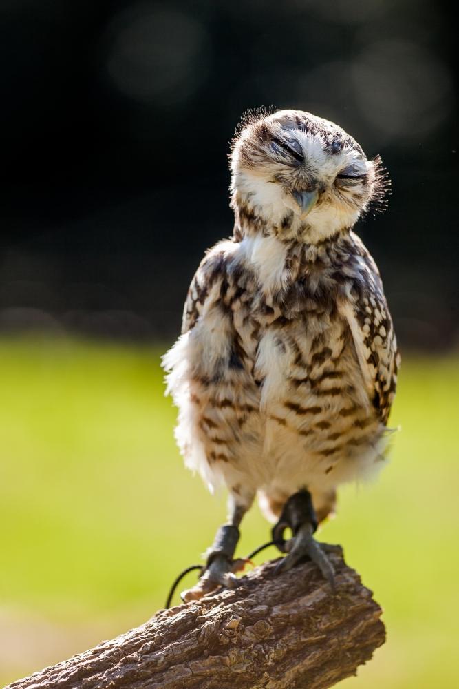 Owl Shoots in September (1/4)