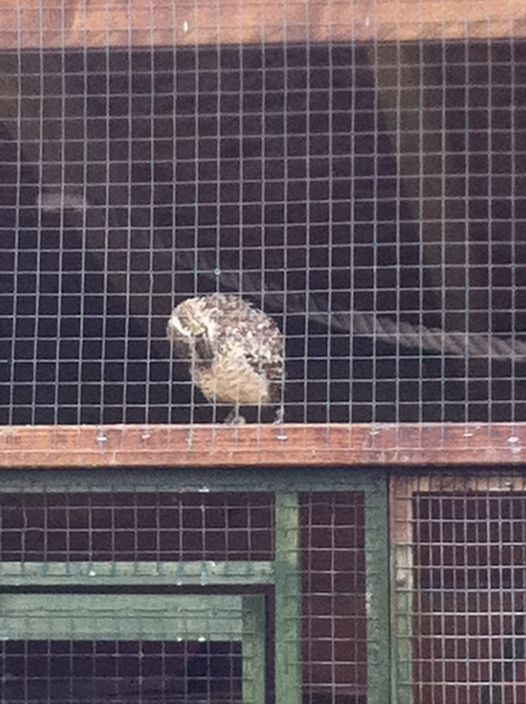 Owls by day (2/6)