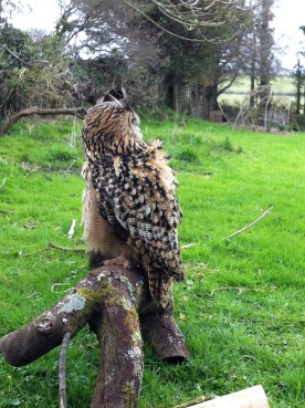 Eagle Owl enjoying the sights