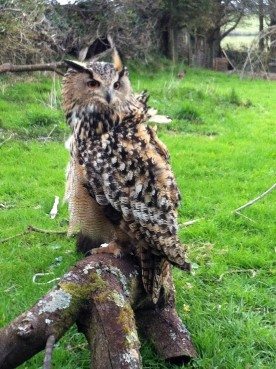 Eagle Owl on a windy day