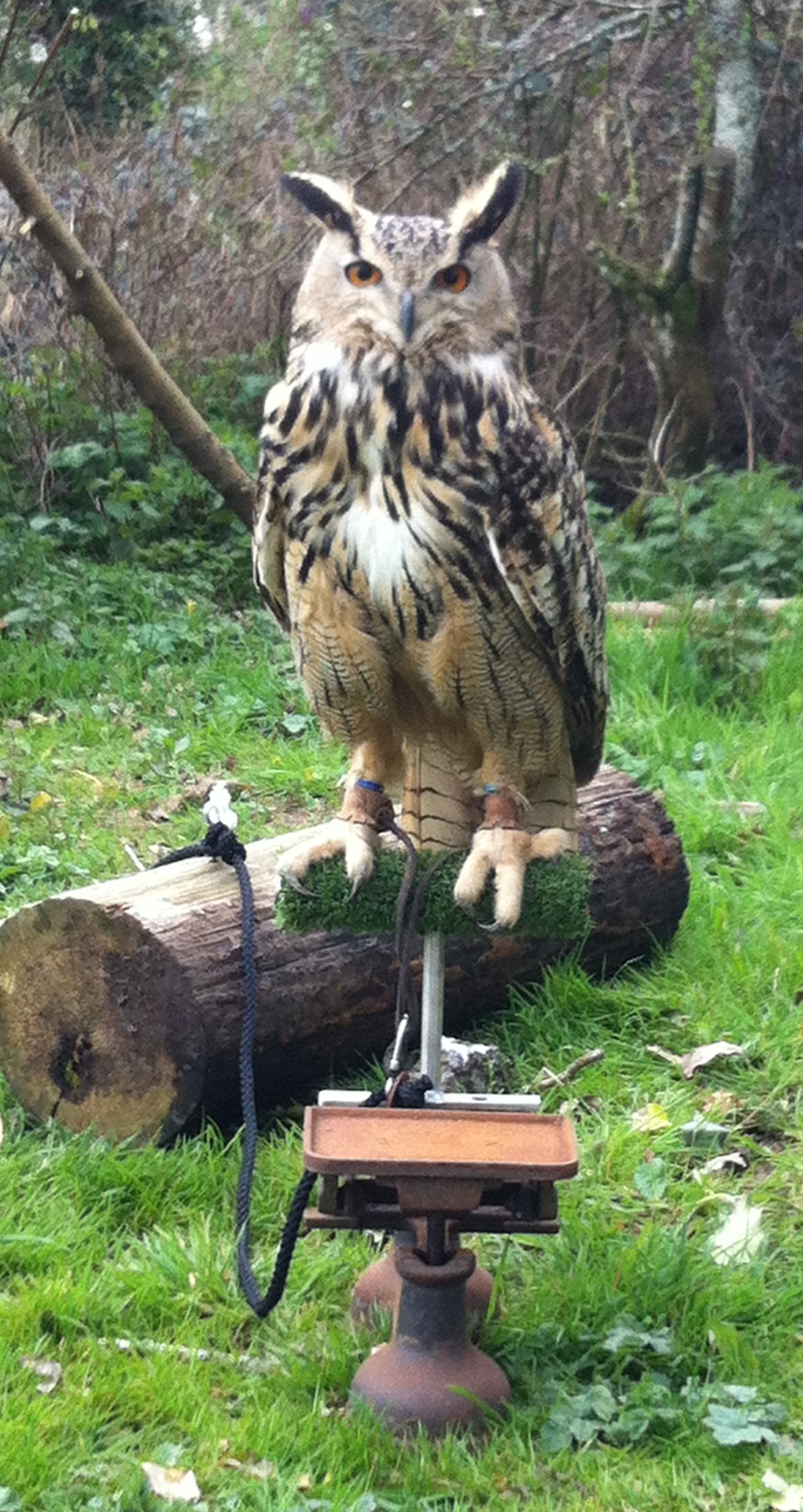Eagle Owl weigh day