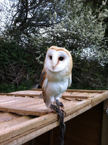 Barn Owl on lookout