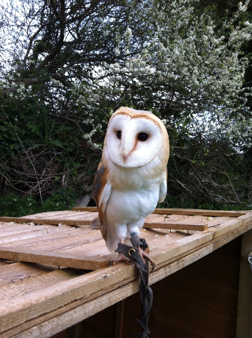 Barn Owl on lookout