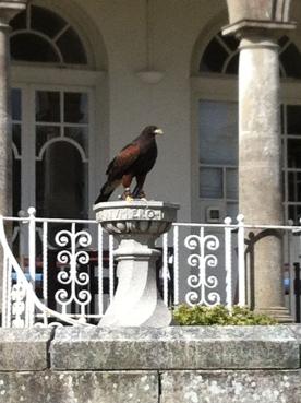 Chaya Harris Hawk at Fowey Hall