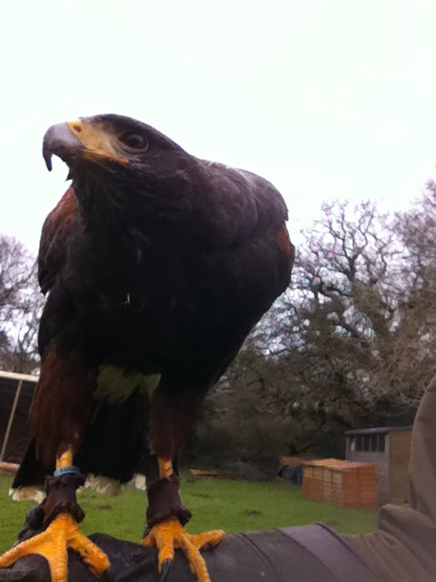 Feb 2016 yellow feet Harris Hawk