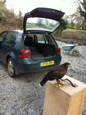 Harris Hawk and aggregate