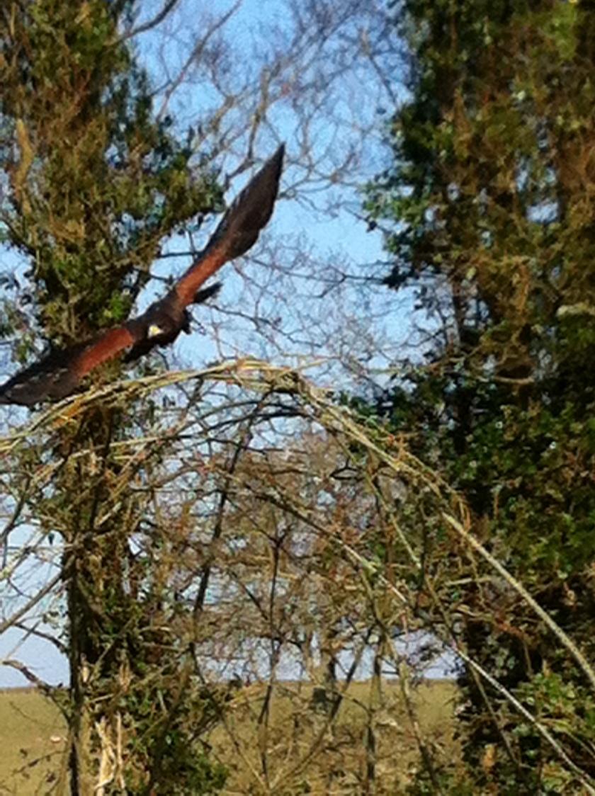 Harris Hawk flies over willow