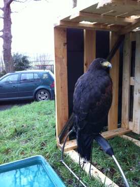 Harris Hawk in her weathering