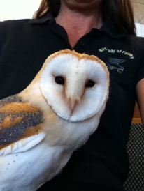 My Barn Owl Whisper