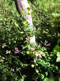 Honeysuckle Americana flowering
