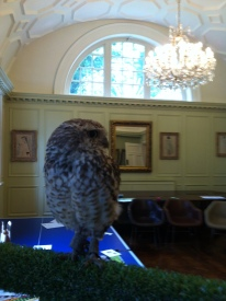 peanut-the-burrowing-owl-at-fowey-hall-hotel-june-2016