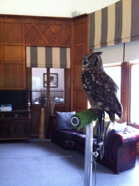 victor-the-spotted-eagle-owl-at-trenython-manor-hotel-1st-aug-2016