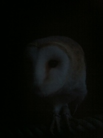 Barn owl at dusk 4