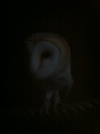 Barn owl at dusk 5