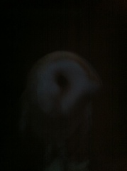 Barn owl at dusk 6