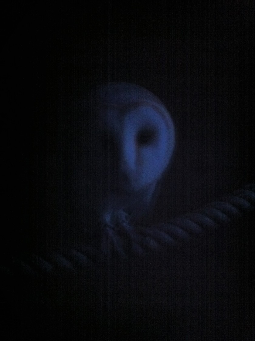 Barn owl Whisper at dusk.JPG