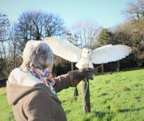 Whisper the Barn Owl flying