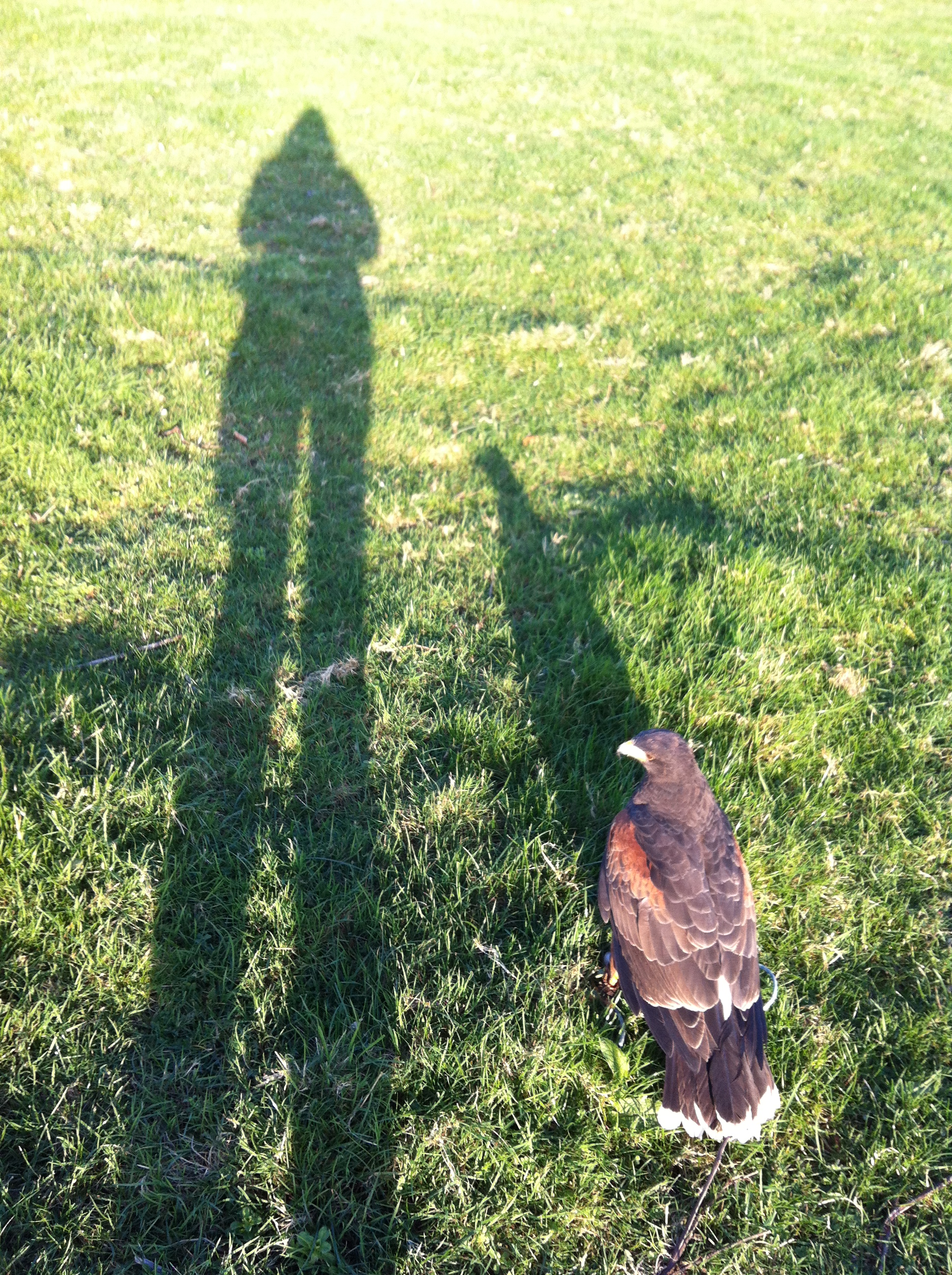 long-shadow-hawk