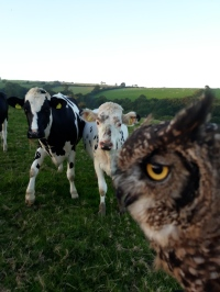 Owl meets cow Sept 17