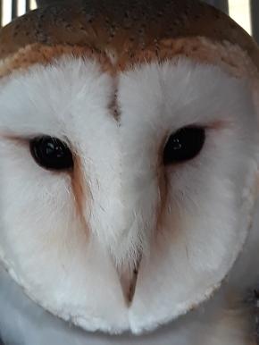 Whisper beautiful Barn owl. Bird lady of Fowey